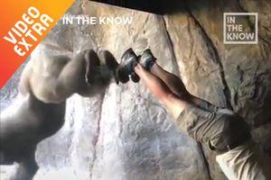 Người huấn luyện 'trồng chuối' để tăng tình bạn với gorilla