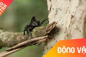 Cuộc đụng độ 'chết chóc' giữa bọ hung và đàn kiến khổng lồ