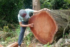 Nhức nhối hàng loạt vụ phá rừng nghiêm trọng tại tỉnh Quảng Nam