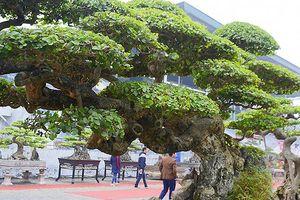 Những cây duối cổ được trả tiền tỷ nhưng chủ nhân không bán