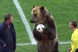 Giật mình xem chú gấu to hơn người xuất hiện giữa sân bóng đá