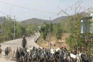 Ninh Thuận: Khô hạn, nắng nóng đến cháy đất, 900 con gia súc chết