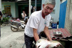 Ngư dân Quảng Bình bắt được cá 4,2 kg nghi sủ vàng tiền tỷ