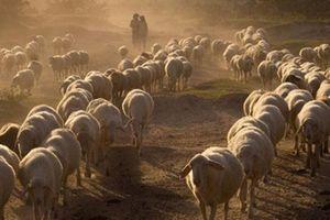 Bất lực nhìn cừu chết, dân vùng 'sa mạc' của VN chỉ biết ngửa mặt khấn giời