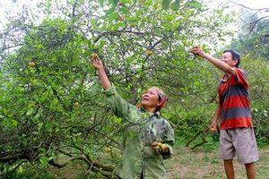 Vườn chanh 4.000 đồng/quả, không đủ bán ở Nghệ An
