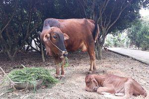 Thanh Hóa: Dân muốn chăn thả trâu bò phải nộp 'phí đồng cỏ'