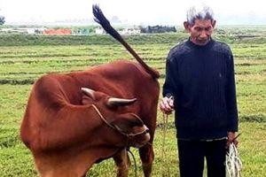 Ở Thanh Hóa: Đi chăn trâu bò, dân cũng phải đóng phí, lãnh đạo địa phương lên tiếng