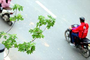Ngắm hàng phong xanh mướt, lãng mạn trên phố Hà Nội