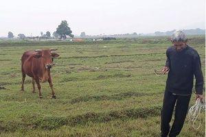 Thanh Hóa yêu cầu trả lại tiền chăn thả trâu bó trước 30/4