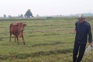 Vụ nộp phí đồng cỏ cho trâu bò: Đã có kết quả xử lý