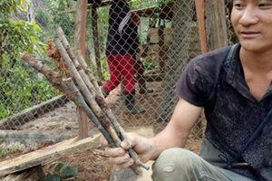 Sơn La: Cây mận hậu hỗ trợ hộ nghèo giảm nghèo chết... hàng loạt