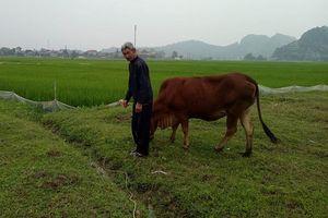Ai chịu trách nhiệm vụ trâu bò 'cõng' phí đồng cỏ ở Thanh Hóa?