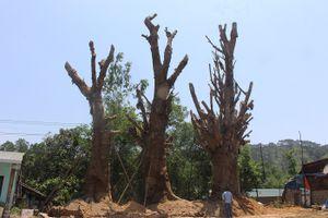 3 cây khủng như 'quái thú' bị giữ ở Huế… giờ đang ở đâu?