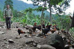 Một huyện mỗi năm bán ra 14 triệu con gà đồi, thu 1.250 tỷ đồng