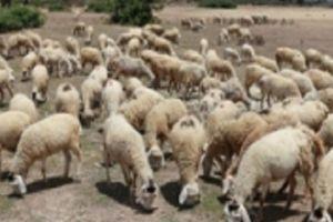 Chảo lửa Ninh Thuận: Người mót nước, cừu đổi lông vì nắng nóng