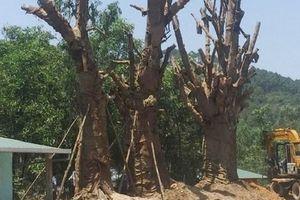 Chưa thể ra Hà Nội, 3 cây quái thú 'tạm cư' tại Thừa Thiên Huế