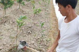 CLIP: Cả trăm mẫu cam, bưởi ở Văn Giang héo dần vì chính quyền cấm điện