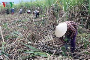 Giá mía xuống thấp, nông dân Phú Yên gặp khó