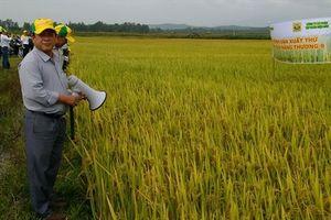 Nàng Thương 9 là giống lúa chủ lực tại Quảng Ngãi