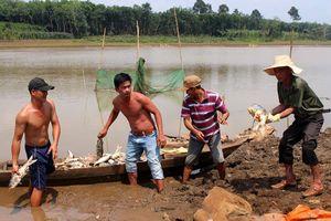 Bình Phước: Hàng chục tấn cá chết do thiếu oxy