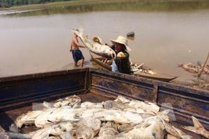 Xác định nguyên ngân ban đầu vụ 20 tấn cá chết ở Bình Hà (Bình Phước)