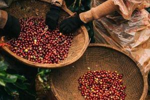 Giá nông sản hôm nay 27/4: Giá cà phê trở lại mốc 37.000 đồng/kg, giá tiêu khởi sắc