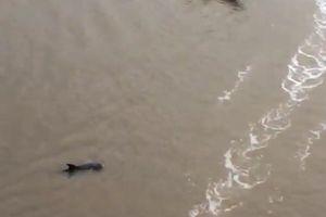 Đổ xô đi xem cá heo hơn 200kg nổi trên sông ở Cà Mau