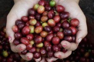 Giá nông sản hôm nay 28/4: Phiên cuối tuần, giá cà phê chưa thể vượt 37.000 đồng/kg, giá tiêu tăng ổn định