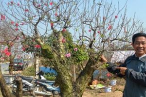 'Mát tay' trồng đào cảnh, nhanh chóng thành triệu phú