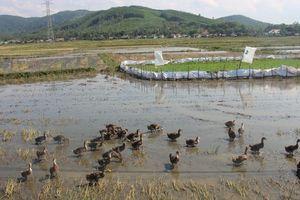 Chuyện lạ: Vịt ăn mót trên đồng lúa của dân, xã thu phí tiền triệu