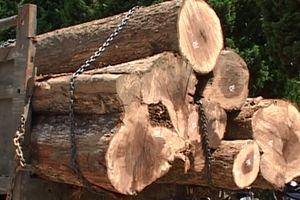Bắt 2 xe gỗ lớn xuất xứ từ Vườn quốc gia Yók Đôn