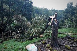 Lốc xoáy quật ngã 10ha sầu riêng ghép đang thu hoạch