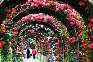 1000 cây hồng Bulgaria khoe sắc trong Lễ hội Hoa hồng