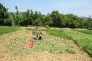 Thu hoạch đậu phộng bên dòng Trà Bương