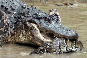 Cá sấu khổng lồ đánh nhau kịch liệt với trăn Miến Điện