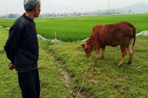 Chăn thả trâu bò phải đóng phí, TP.Thanh Hóa yêu cầu xã kiểm điểm