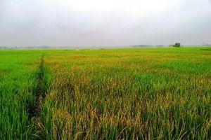 Phun thuốc diệt cỏ vào ruộng lúa để trả thù