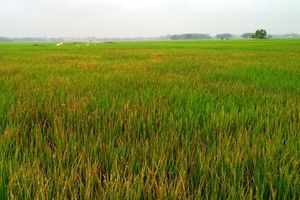 'Diệt cỏ' hơn 3 sào lúa của người tình vì bị mất ví