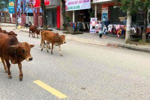 Quảng Trị: Đau đầu xử lý nạn 'bò thả rông đi trước, ô tô theo sau'