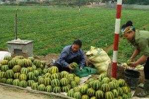 Dân xứ Mường trúng lớn loại dưa chín nứt toác, nhiều người mê ăn