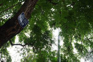 Những cây sưa đỏ tiền tỷ trước ngày di dời để xây ga ngầm ở Hà Nội