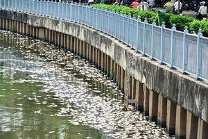 Cá chết trắng kênh Nhiêu Lộc - Thị Nghè sau trận mưa đầu mùa