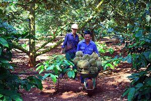 Trồng xen cây ăn trái trong vườn cà phê cho hiệu quả rõ rệt