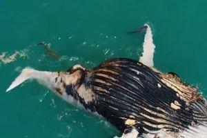 Cận cảnh cá sấu và cá mập chia sẻ đại tiệc xác cá voi
