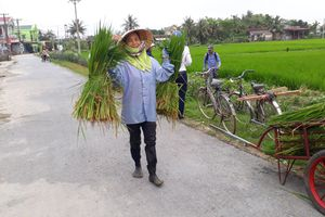 Thanh Hóa: Người dân nguy cơ trắng tay vì 'lúa ma'