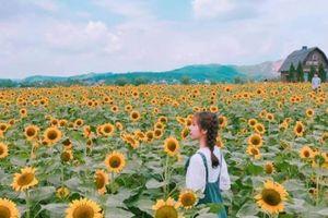 Giới trẻ 'phát sốt'' với vườn hoa hướng dương tại Bắc Giang
