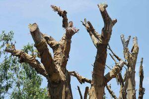 Vụ 3 cây 'khủng': Không chịu hạ tải, chủ cây vẫn chưa được cấp giấy phép vận chuyển