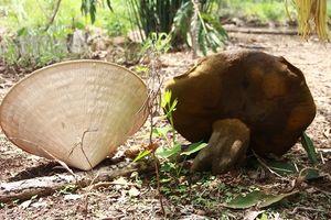 Đắk Lắk: Phát hiện nấm lạ 'khổng lồ', lớn nhanh với tốc độ chóng mặt
