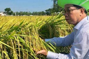 Giống lúa Thái Bình tạo nên đồng vàng ở xứ Quảng