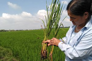 Huyện Quảng Xương (Thanh Hóa): Nông dân có nguy cơ đói vì lúa 'lạ'